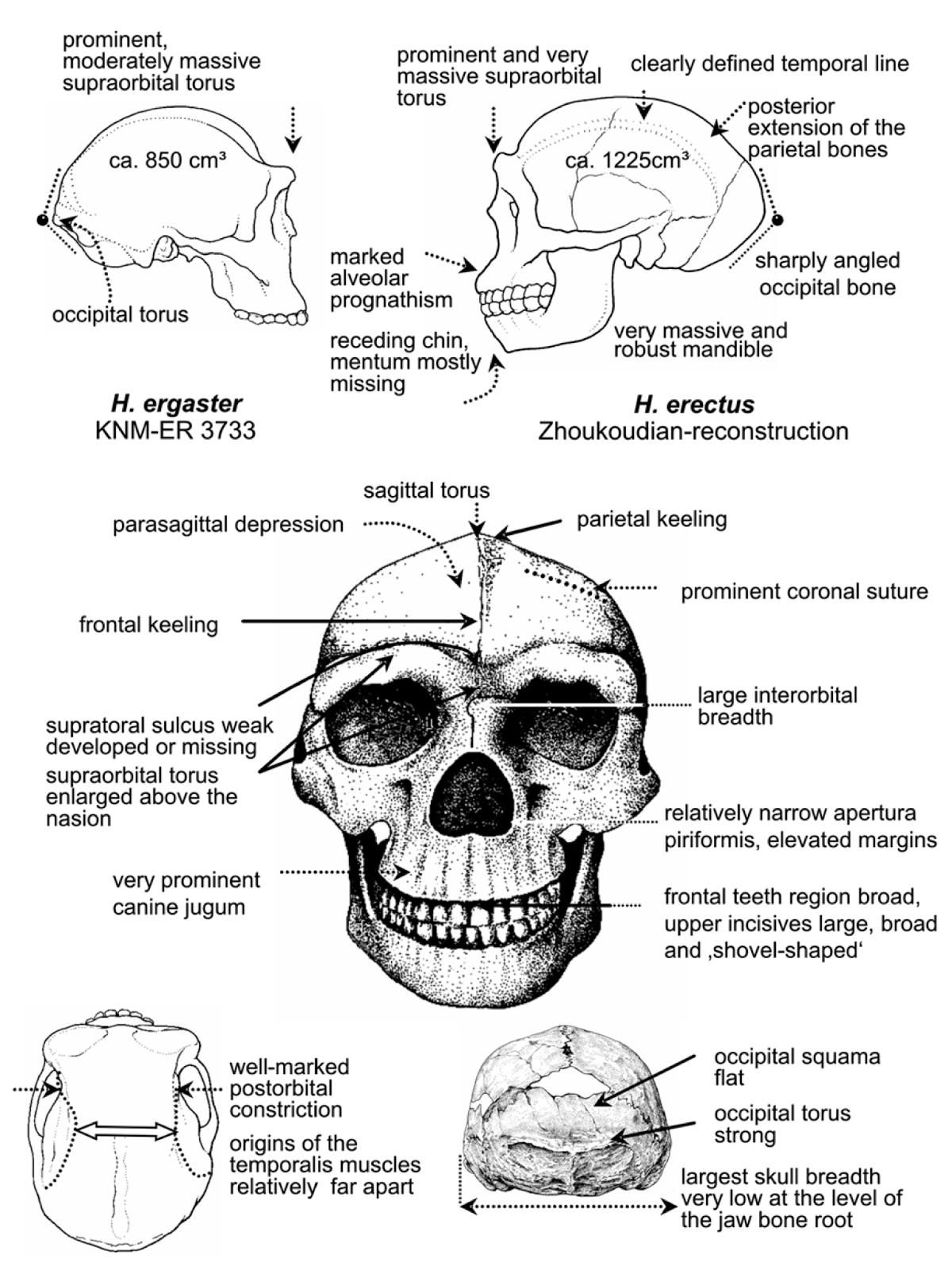 Paleoantropología hoy: Morfología de Homo ergaster y Homo erectus