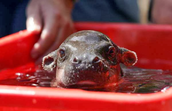 Funny animals of the week - 22 November 2013 (35 pics), baby hippo in a bucket