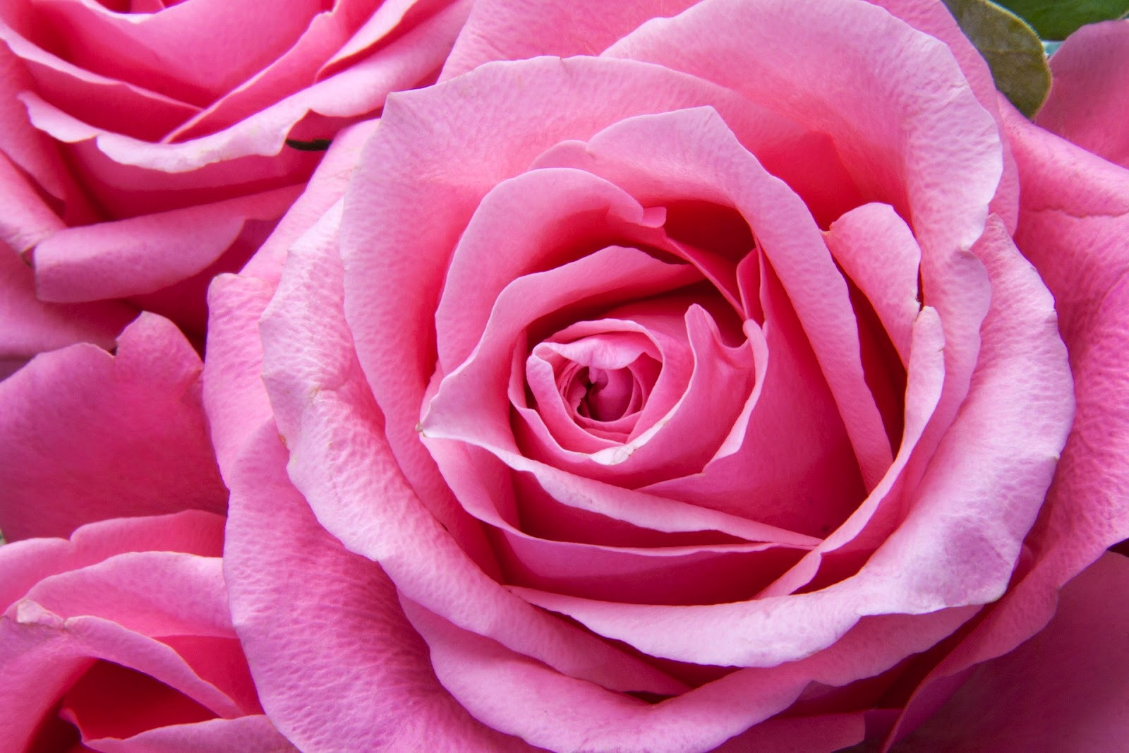 What Is Love? PINK ROSE