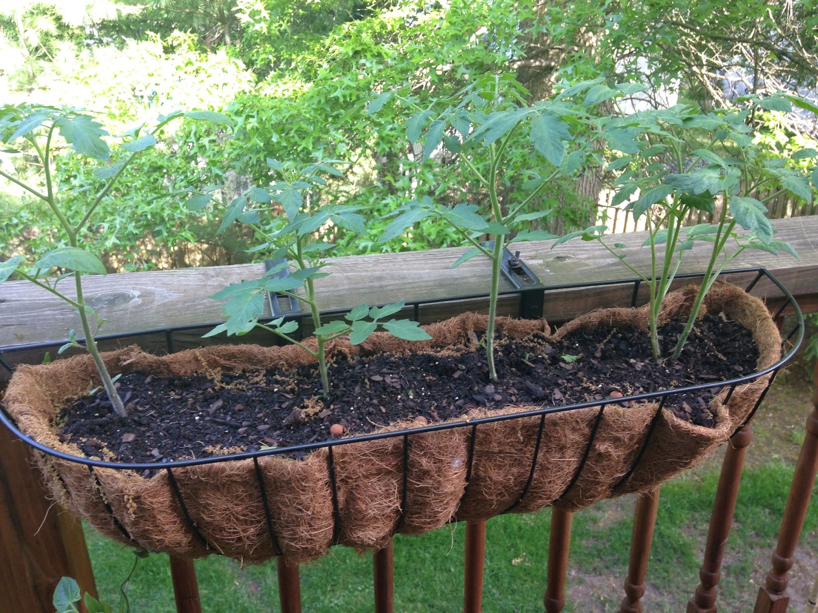 Here Are Our Tomatoes We Actually Saw Something On Pinterest Where They Planted Their Tomato Plants In A Hanging Basket Which Makes Them Grow Down Like
