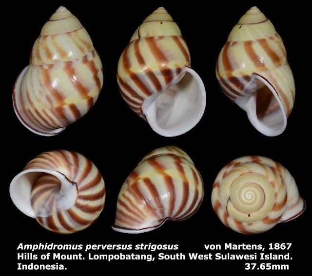 Amphidromus perversus strigosus 37.65mm