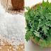 Lá ngải cứu cây thuốc quý chữa đau lưng và cột sống cổ hiệu quả