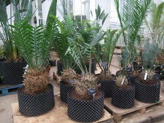 Kew Gardens - Temperate House Cycads