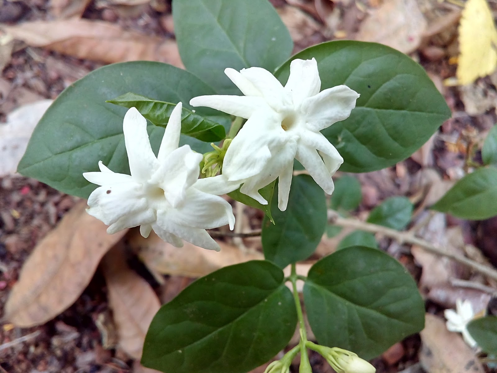 Mogra flowerjasminum sambac beautiful konkan mogra jasmine sambac is an evergreen shrub that is grown throughout the tropics it is a fregrance flower jasmine prefers mild and tropical climate to izmirmasajfo Choice Image