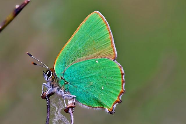 Fotos - Bilder - Tierfotos - Schmetterlinge - Tagfalter - Grüner Zipfelfalter