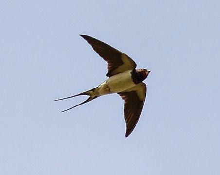 swallow rondine