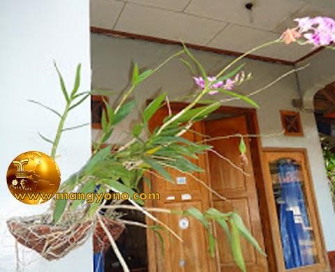 Bunga anggrek di tanam di pot yang menempel di dinding.