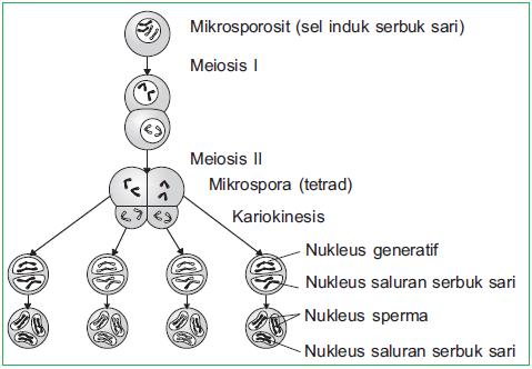 Gametogenesis pada tumbuhan mikrosporogenesis dan jadi dalam sebutir serbuk sari masak terdapat tiga inti haploid yaitu sebuah inti saluran serbuk sari dan dua inti sperma inti generatif ccuart Image collections