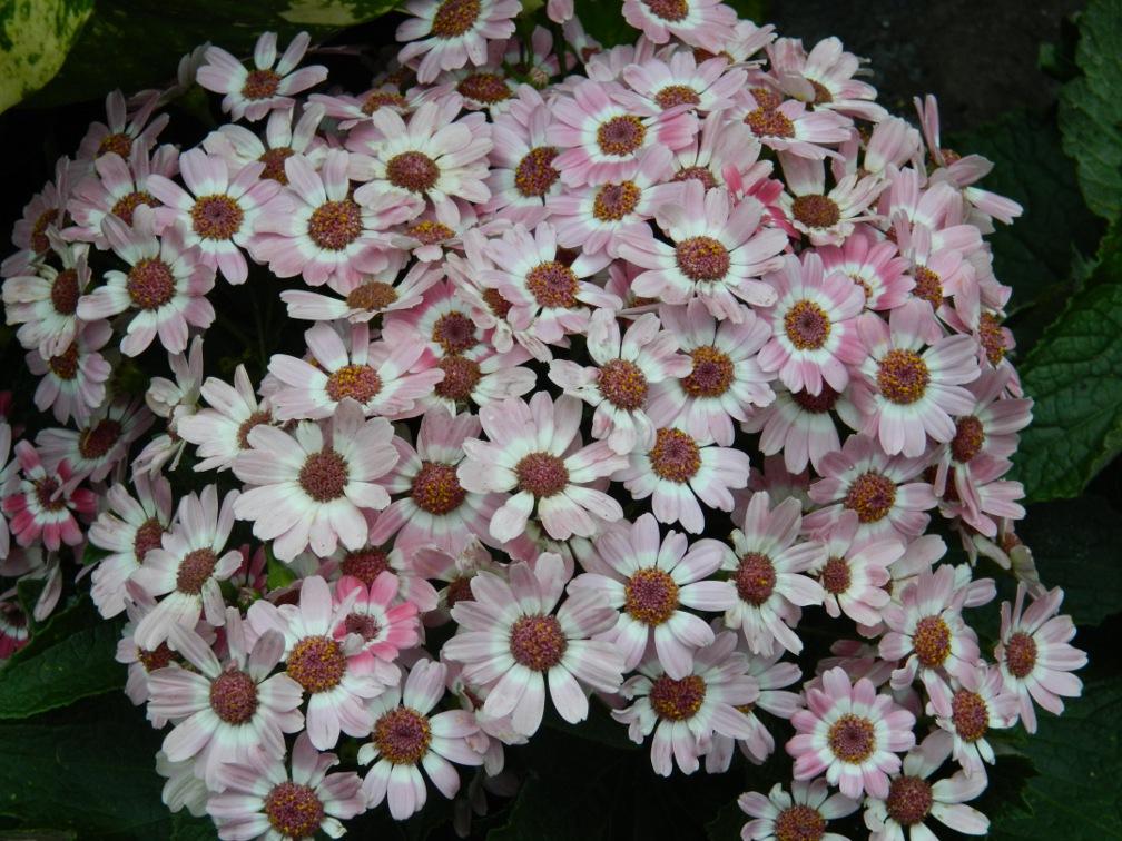 Pale white cineria Allan Gardens Conservatory Spring Flower Show 2013 by garden muses: a Toronto gardening blog