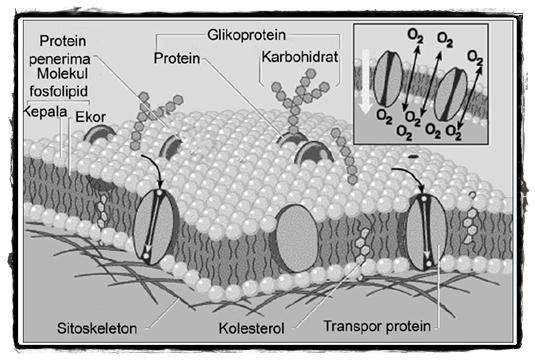Struktur Sel: Membran Sel | www.zonasiswa.com