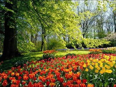 image03224 شهر مايو في هولندا  موسم حصاد زهور التوليب  جنة على الأرض