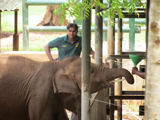 Het voeren van de olifanten is in het Elephant Transit Home - Udawalawe een top-attractie. Sri Lankezen zijn dol op hun olifanten.