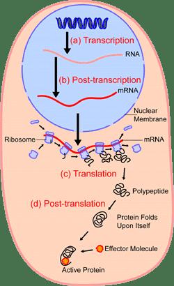 Điều hòa tổng hợp protein Tài liệu ôn thi bác sĩ nội trú - Môn Y sinh học Di truyền