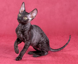 Cornish Rex Picture