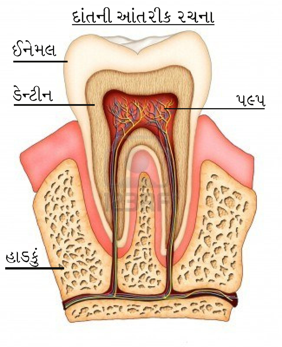 cross section of tooth showing anatomy of tooth with name of part in gujarati language