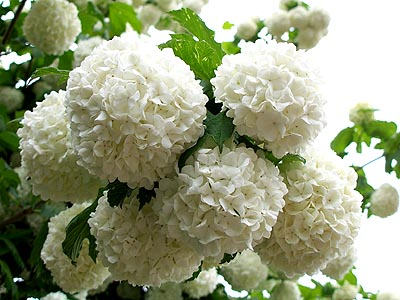 Flowers for flower lovers snowball flowers umisnowball flowers small snowball flowers gradually turn from green to pure white there are over 150 varieties of viburnum one of the most popular is mightylinksfo