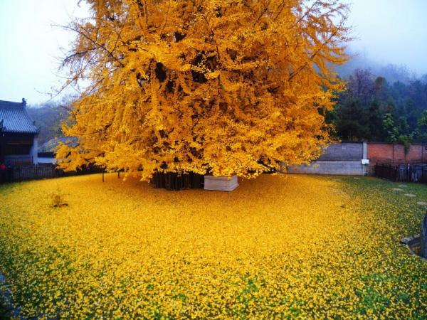 Pohon Ginkgo Cina
