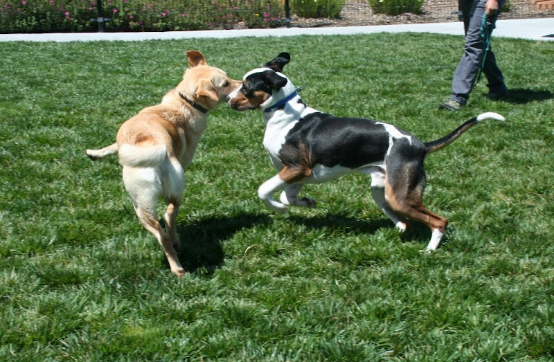 cabana and a black, brown and white spotted dog romping together on the grass, heads close together