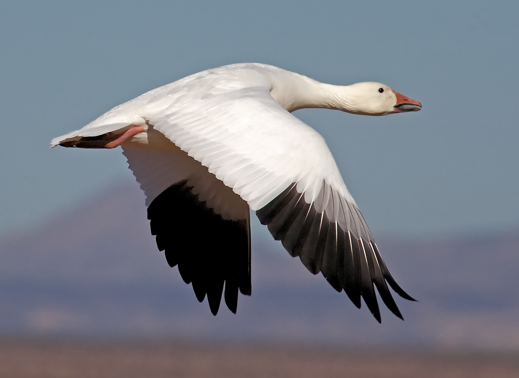 the Snow Goose Festival. They have a variety of events,