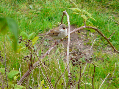Whitethroat, Speke Hall