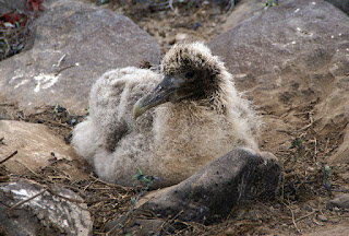 Waved Albatross Chick Punta Suarez Espanola Galapagos Islands