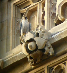 Parliament Peregrine Diary