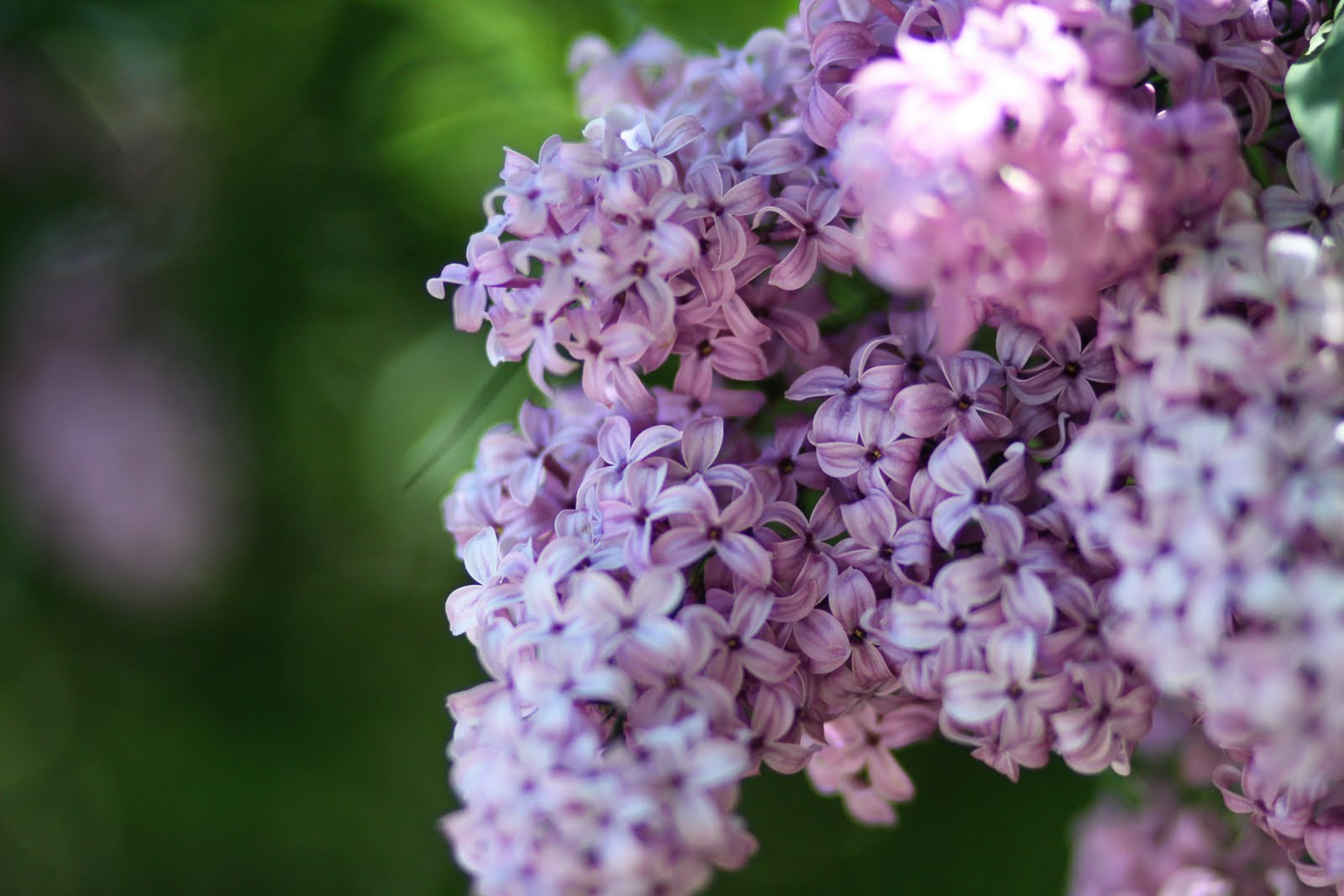 Mimi: The Land of the Lilacs... and livestock