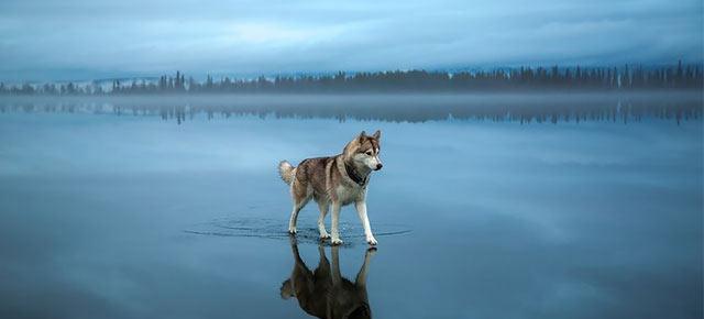 Fotógrafo captura oníricas fotos de Huskys jugando en un lago congelado