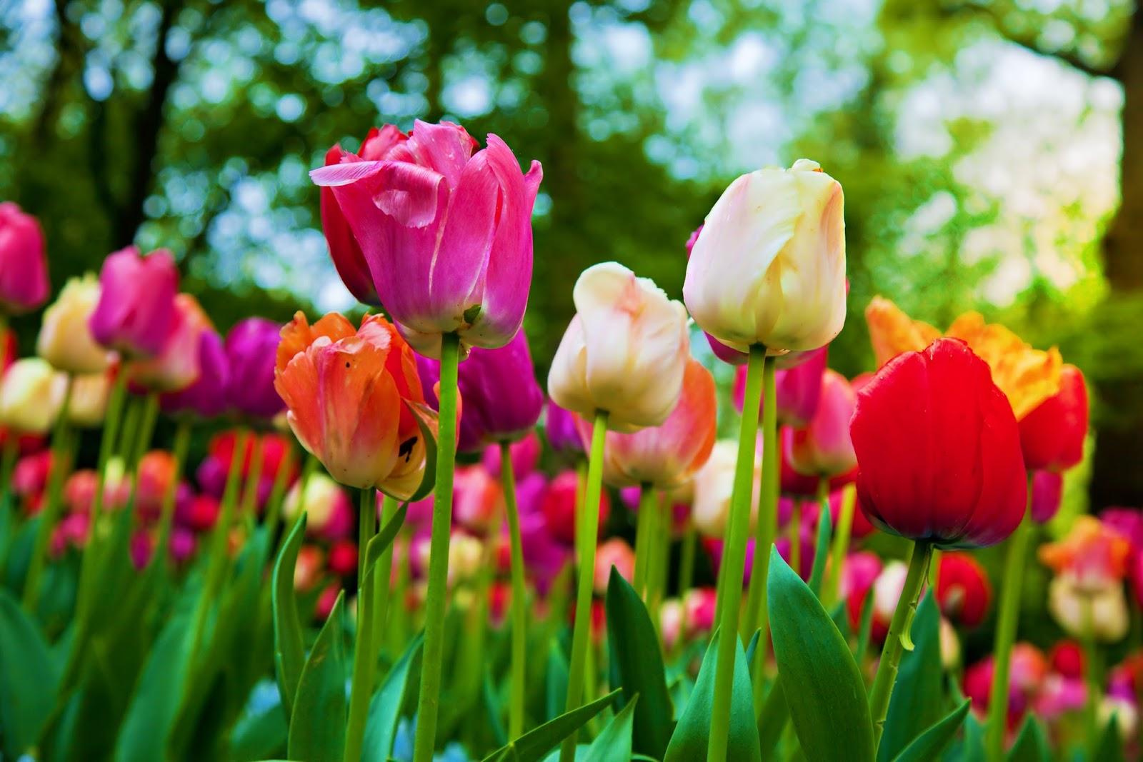 BANCO DE IMÁGENES: 20 fotos gratis de rosas, tulipanes y arreglos ...