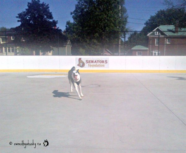 Family Fun At The Arena - Husky Loves To Run!