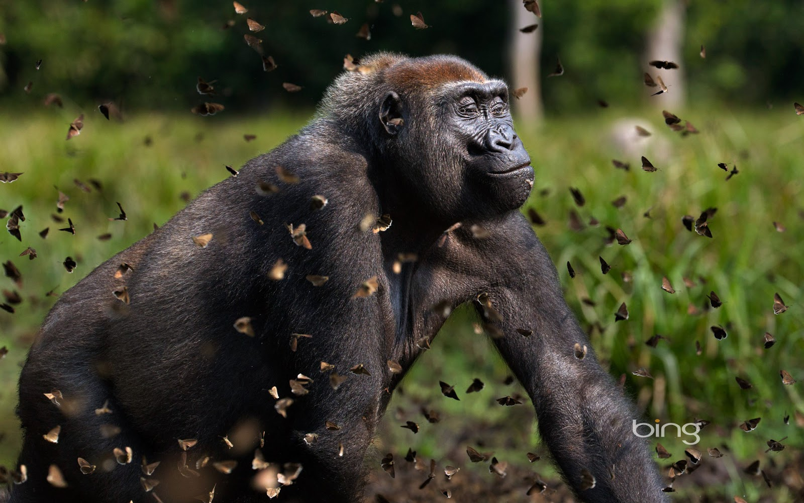 Western lowland gorilla female in a cloud of butterflies (© Anup Shah
