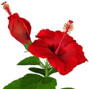 Informatii despre planta hibiscus