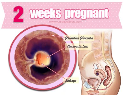 2 uger gravid