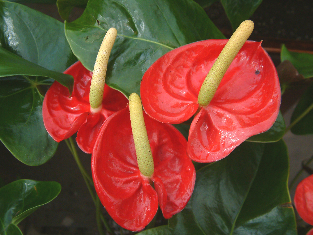Flower Picture: Anthurium Flower India