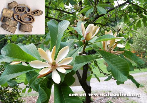 Magnolia officinalis Rehd. et wils.; 2. Magnolia officinalis Rhed. et Wills. var. biloba Rhed. et Wills. (Fam. Magnoliaceae)