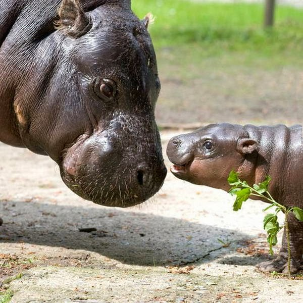 Funny animals of the week - 14 February 2014 (40 pics), baby hippo and his mommy
