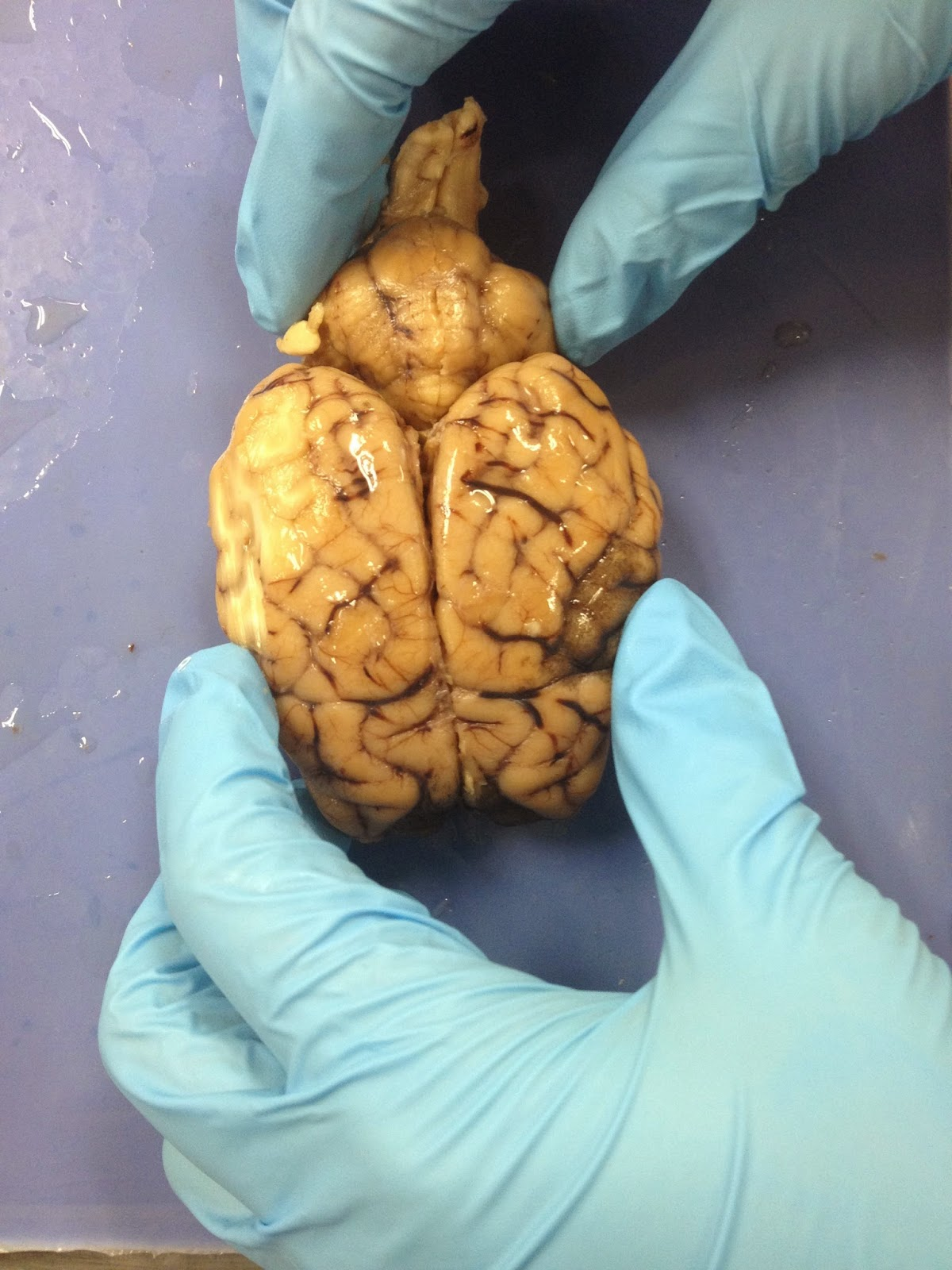 Sheep Brain Dissection | Hannah Brickson - Anatomy