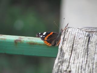 бабочка, красивая бабочка, макро