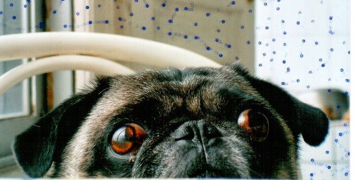 Our Beloved Pug Benito