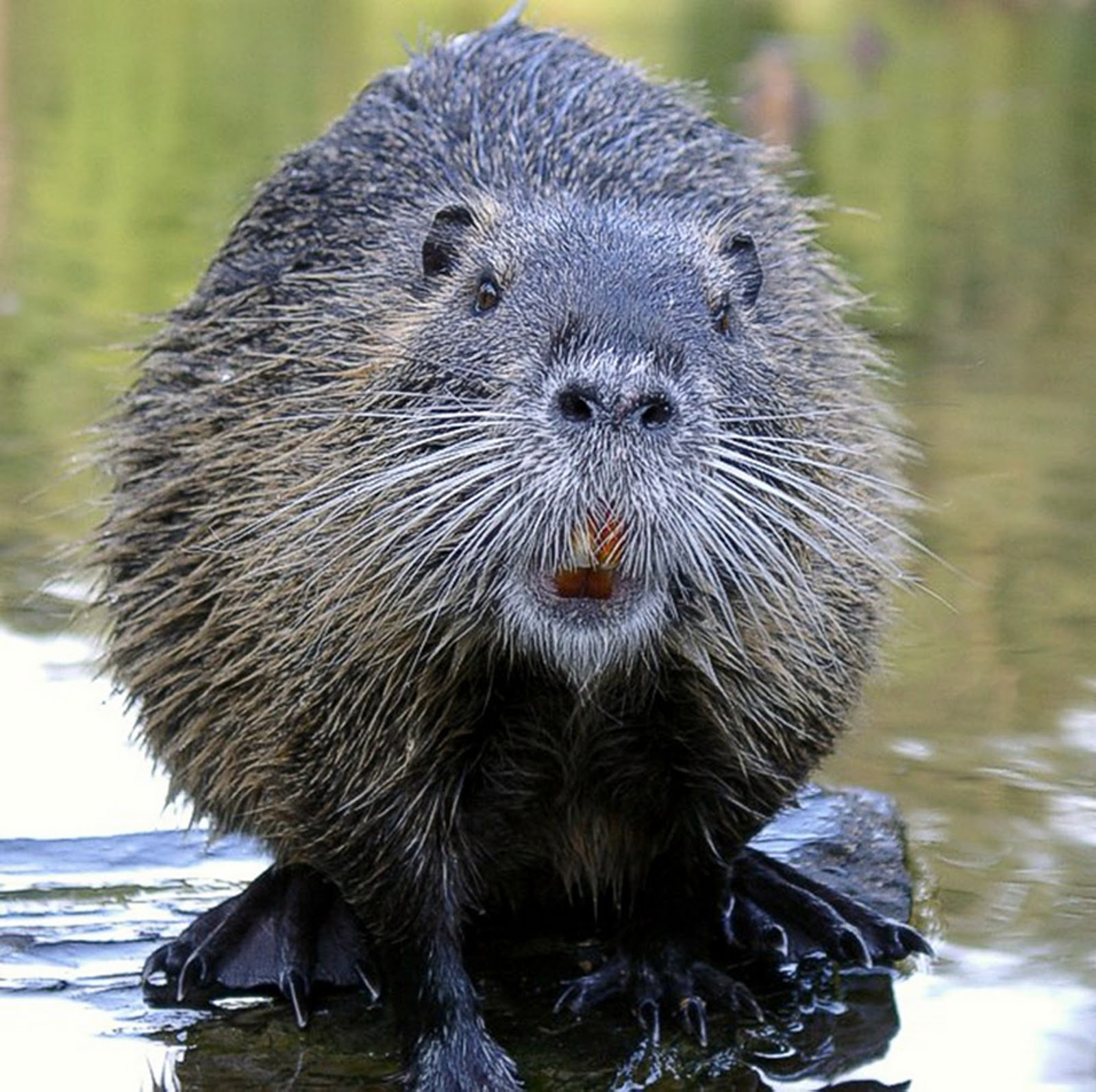Funny Beaver Images Animals