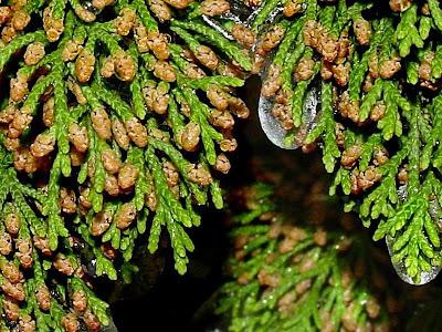 trees of the world cedro de montaña Juniperus ashei