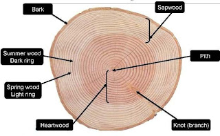 wood anatomy