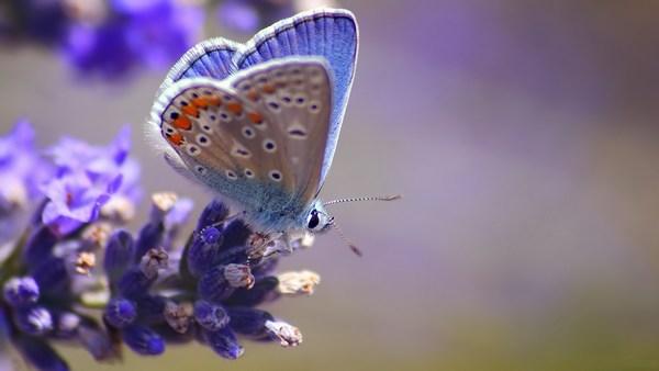 Purple Butterfly HD Wallpaper