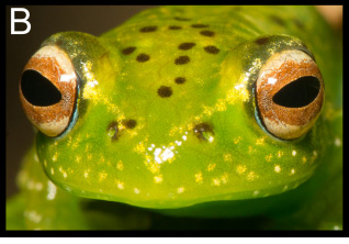 A new bright-eyed treefrog: Boophis boppa
