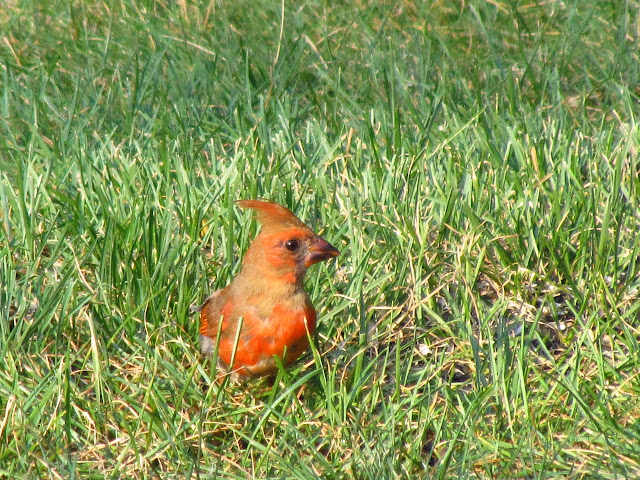 another cardinal in grass