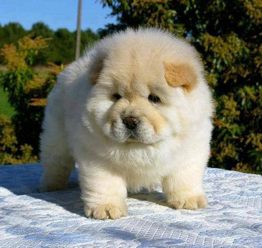 Adorable cute chow chow puppy