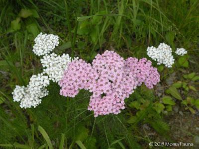 Yarrow (Achillea millefolium L. var. borealis),  white & pink varieties.