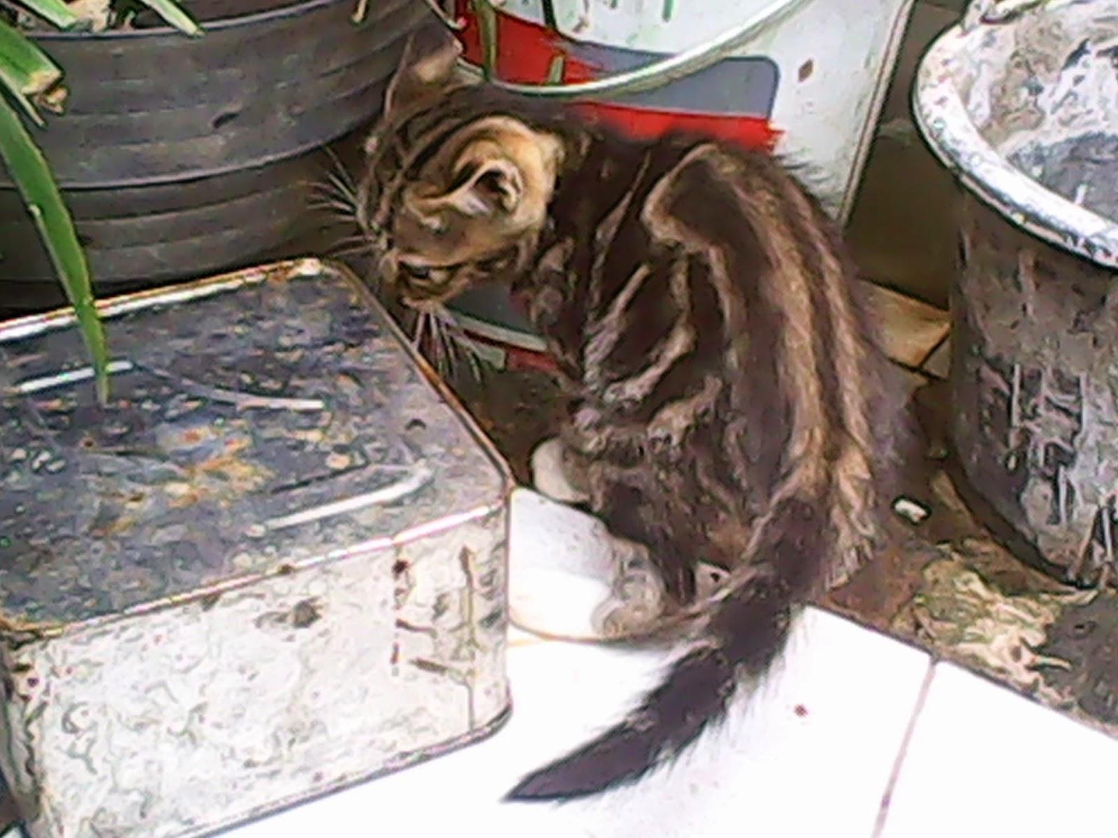 Kucing Bangor Mix Bengal Segitu Petshop