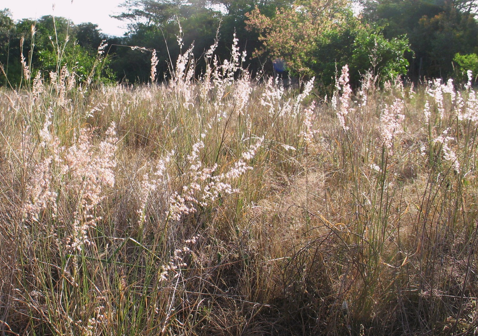 Ornamental Grasses Kenya : Rhynchelytrum the natal grass or champagne grows here in a