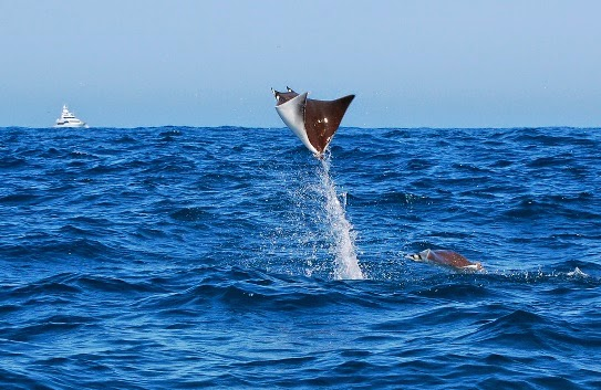 Mantarrayas vuelan flying Devil Rays